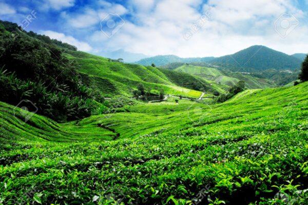 Oolong Tea Australia