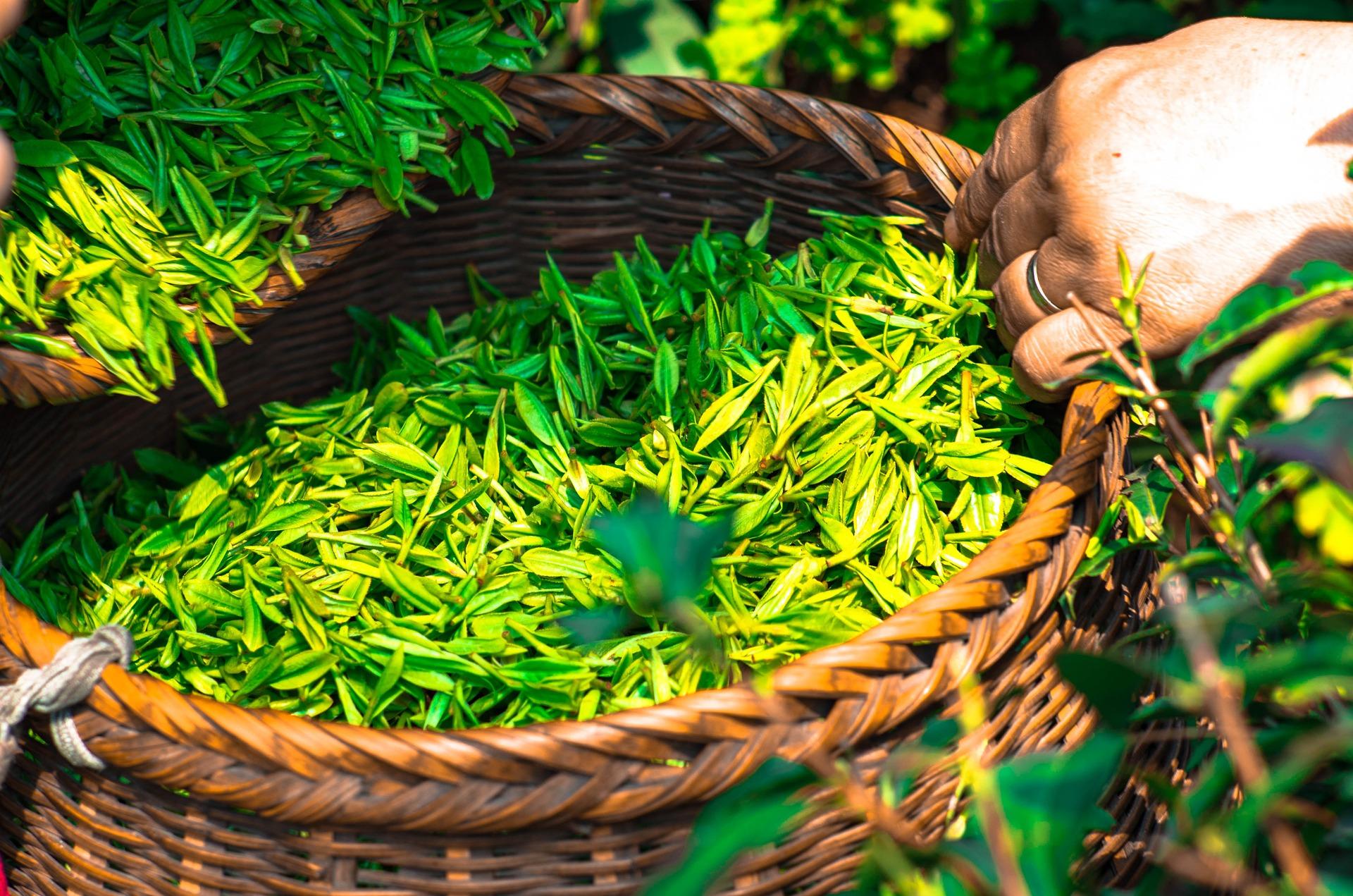 Green Tea Australia